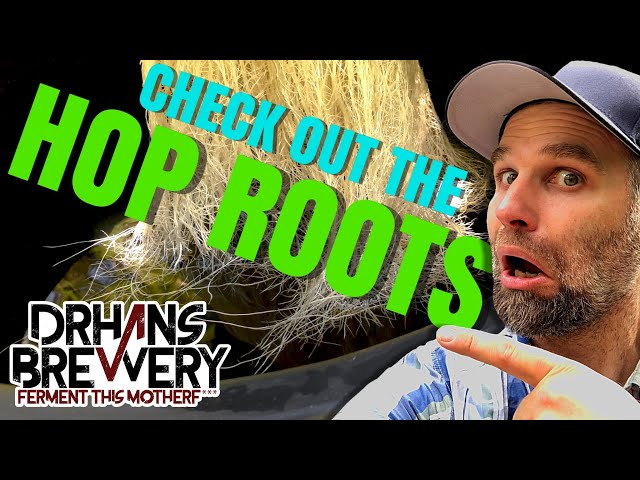 Hydroponic Hops - Growing Hydro Hops without Soil - Part 2