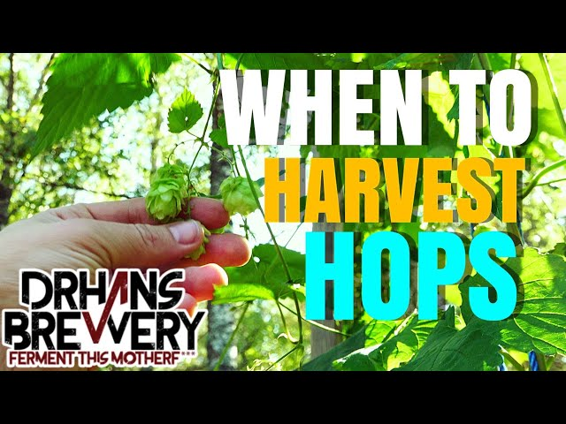 When To Harvest Hops - Growing hops 101 - part 5
