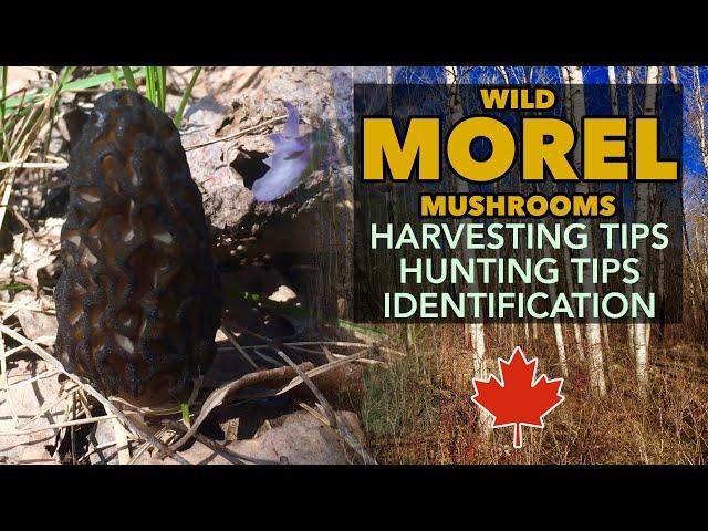 MOREL Mushrooms - How To Find And Harvest Black Morel Mushrooms